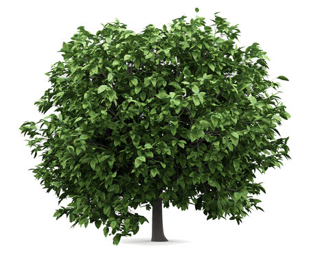pomelo tree isolated on white background. 3d illustration