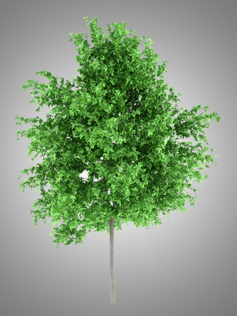 orange tree isolated on gray background. 3d illustration Banque d'images - 117160007