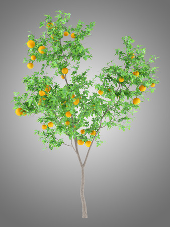orange tree with oranges isolated on gray background. 3d illustration