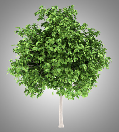 pomelo tree isolated on gray background. 3d illustration