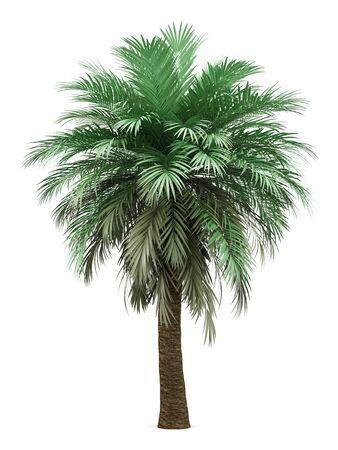 Butia palm tree isolated on white