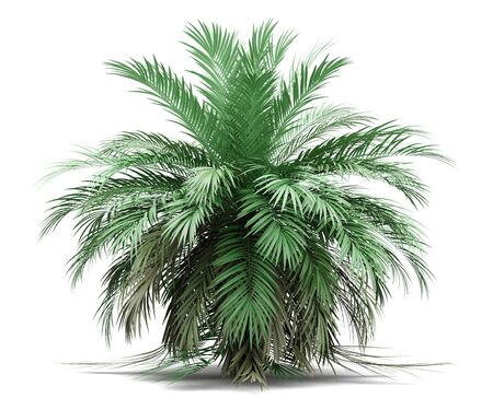 butia palm tree isolated on white background. 3d illustration Фото со стока