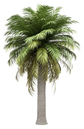 Chilean wine palm tree isolated on white Фото со стока