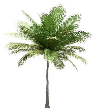 coconut palm tree isolated on white background. 3d illustration Фото со стока