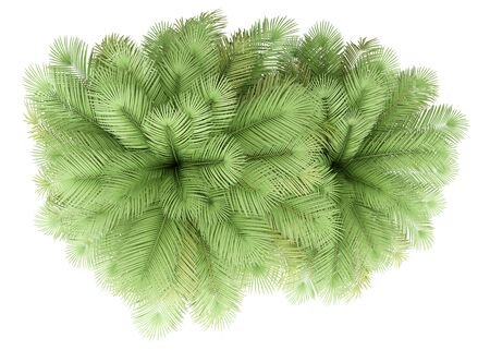 two coconut palm trees isolated on white background. top view. 3d illustration