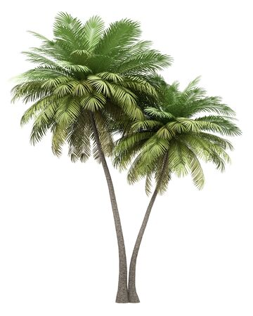 two coconut palm trees isolated on white background. 3d illustration