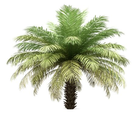Palm tree isolated on white Standard-Bild