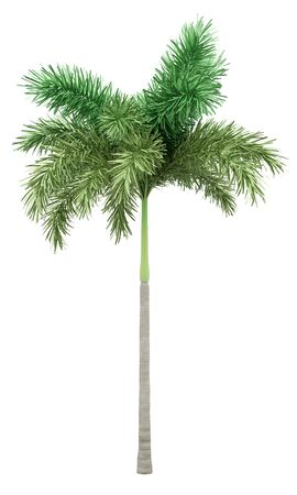 foxtail palm tree isolated on white background. 3d illustration
