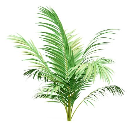 golden cane palm tree isolated on white background. 3d illustration Standard-Bild
