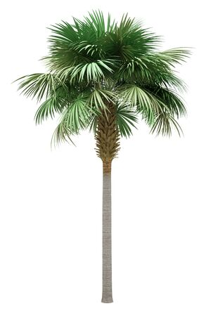 sabal palm tree isolated on white background. 3d illustration