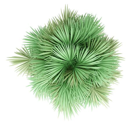 sabal palm tree isolated on white background. top view. 3d illustration Standard-Bild