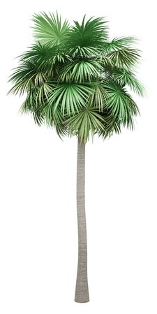 sabal palm tree isolated on white background. 3d illustration Standard-Bild