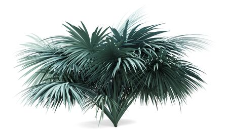 silver fan palm tree isolated on white background. 3d illustration