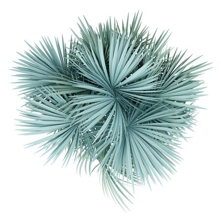 silver fan palm tree isolated on white background. top view. 3d illustration