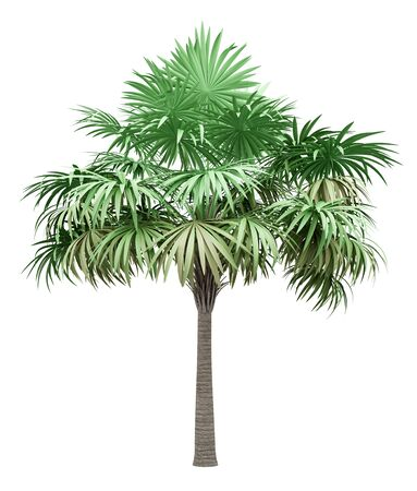 thatch palm tree isolated on white background. 3d illustration