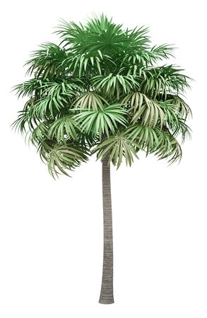 thatch palm tree isolated on white background. 3d illustration Standard-Bild - 133694699
