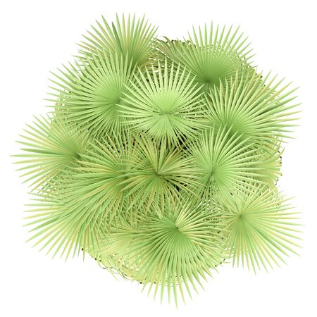 california palm tree isolated on white background. top view. 3d illustration