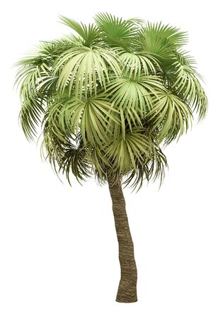 california palm tree isolated on white background. 3d illustration Standard-Bild