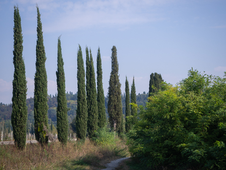 Line of cypresses in the park