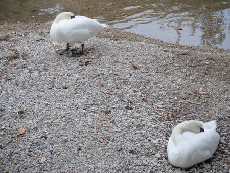A couple of swans sleeping on the riverbank
