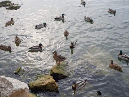 Many ducks near the lake shore looking for something to eat