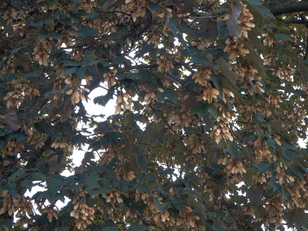 Tree with sycamore seeds and green leaves