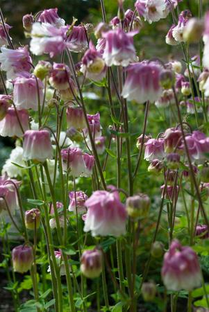 Background full of Aquilegia vulgaris or Columbine Petticoat Pink flowers