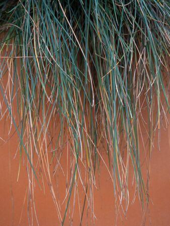 Festuca glauca foliage climbing on an orange concrete planters Stockfoto