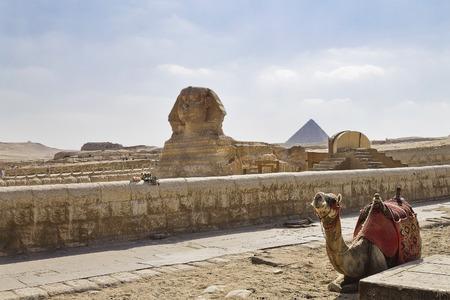 sphinx: camello cerca de una esfinge y las pirámides