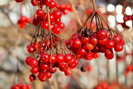 bunch up: Bunch of ripe red viburnum close up