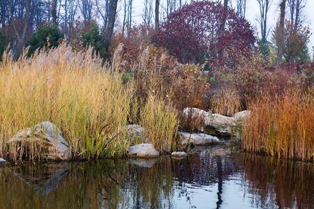 canne: stagno autunno con canne ingiallite e cespugli