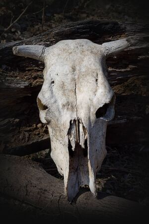 cow skull: cow skull on the background log closeup Stock Photo