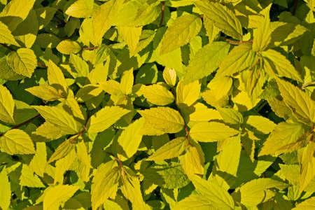 ornamental shrub: ornamental shrub with yellow leaves closeup