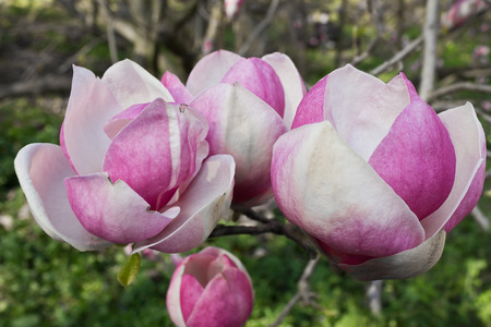 magnolia branch: branch with pink magnolia flowers close up Stock Photo