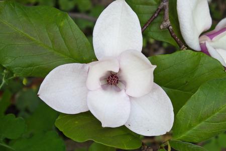 spring flower garden white magnolia closeup Фото со стока - 44193873