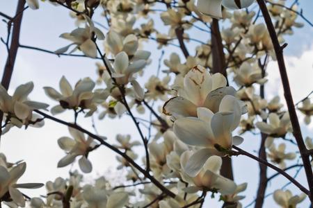 magnolia branch: branch White magnolia blossoms against the sky