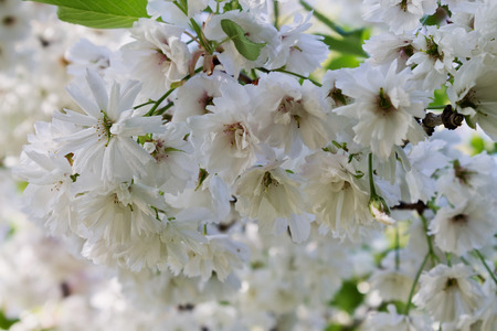 lowers: white flowers of decorative cherry closeup Stock Photo