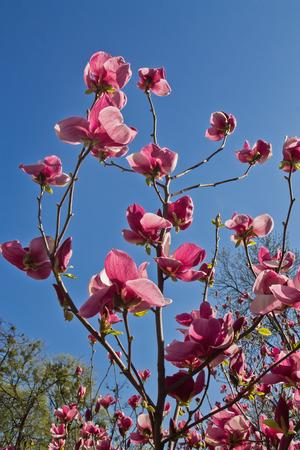 magnolia soulangeana: pink flowers  Magnolia soulangeana against the sky