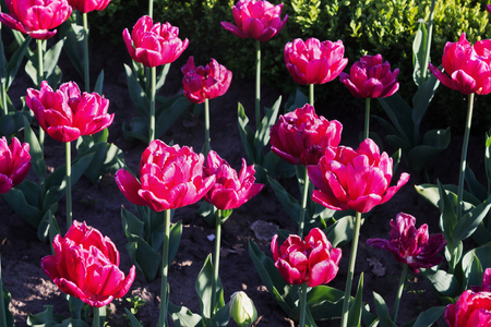 flowerbed: flowerbed with pink tulips blooming closeup