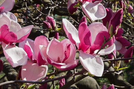 magnolia soulangeana: pink flowers  Magnolia soulangeana close up Stock Photo