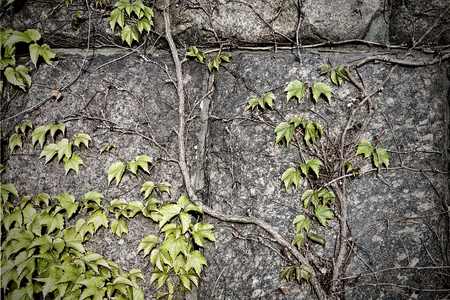 ivy wall: ivy on a stone wall closeup