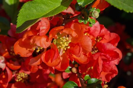 floriculture: red flowers Japanese quince close up