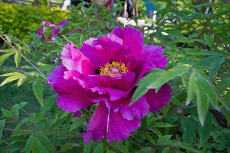 tree peony: purple flower tree peony among leaves closeup