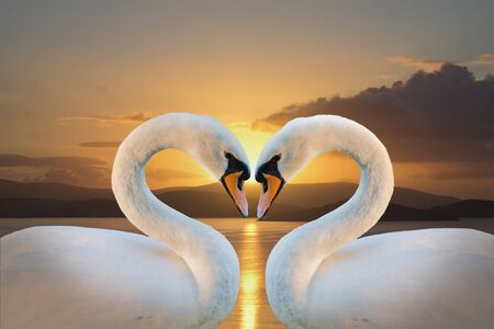 swan: pair of white swans on a background of dawn