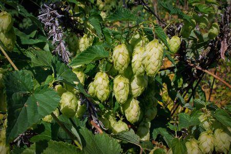 hop cones: overgrown with hop cones closeup