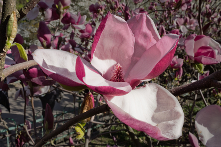 magnolia soulangeana: large pink flower Magnolia soulangeana close up