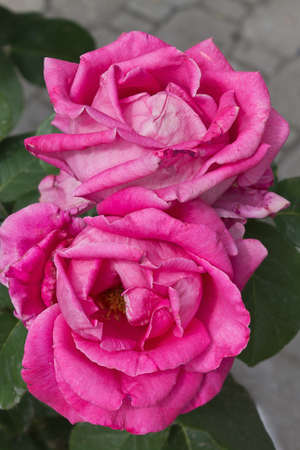 floriculture: Two pink roses close up on a green background