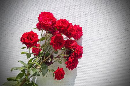 floriculture: bush of red roses on a white wall Stock Photo