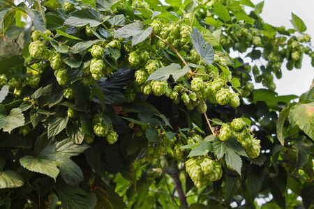 thickets: thickets of hops with ripe cones closeup
