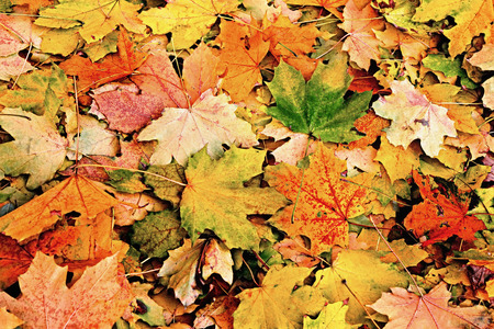 defoliation: Autumn background of green and yellow maple leaves Stock Photo